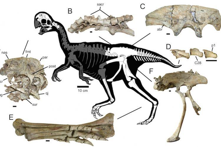 Diagram yang menunjukkan sebagian dari tulang fosil Oviraptoridae