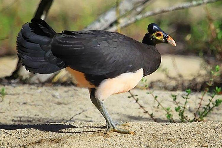Burung maleo (Macrocephalon maleo) di Cagar Alam Panua, Gorontalo. Burung ini meletakkan telurnya di dalam pasir dan menyerahkan pada panas matahari untuk mengeraminya selama 60 hari.