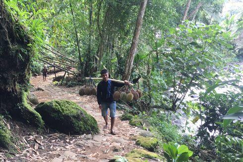Panen Durian di Baduy, Yuk Wisata Durian...