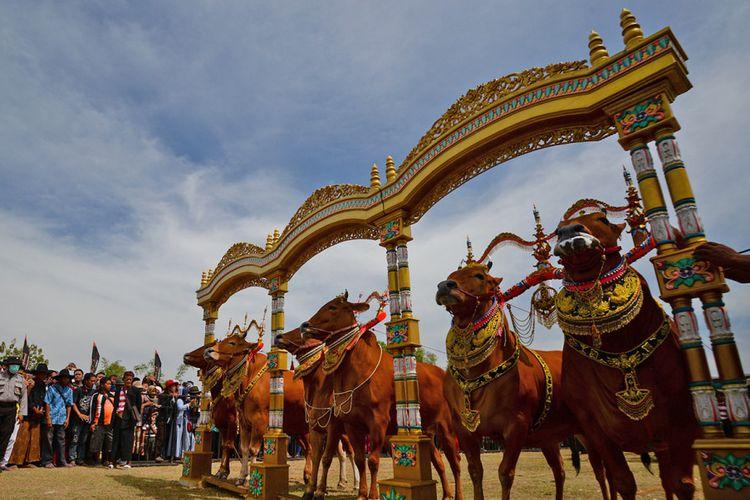 Sapi Sonok, lomba kecantikan khusus sapi khas Madura.