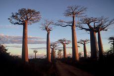 Pohon Kehidupan Berusia Ribuan Tahun Mati Secara Massal, Ada Apa?