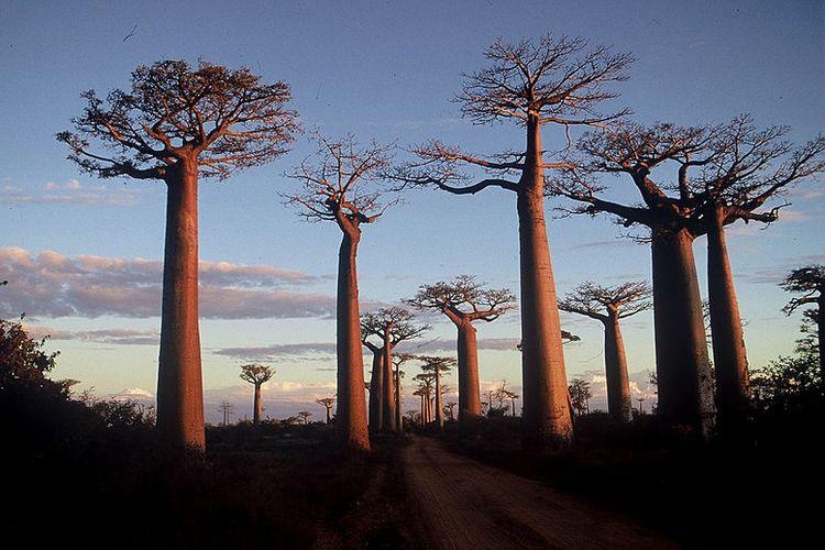 Pohon-pohon baobab di Madagaskar