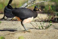 Untuk Kali Pertama pada 2018, Anak Burung Maleo Menetas di Pohulongo