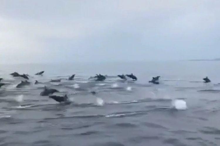 Ribuan lumba-lumba muncul di perairan Bali Utara pada Kamis (18/7/2019)