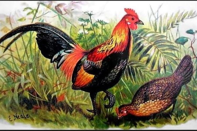 Ilustrasi ayam hutan merah.