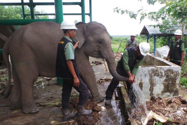 Belalai Arman sedang dibersihkan di Kamp RAPP Pelalawan, Kamis (14/9/2017). Pembersihan dilakukan untuk mengecek penyakit herpes pada gajah.
