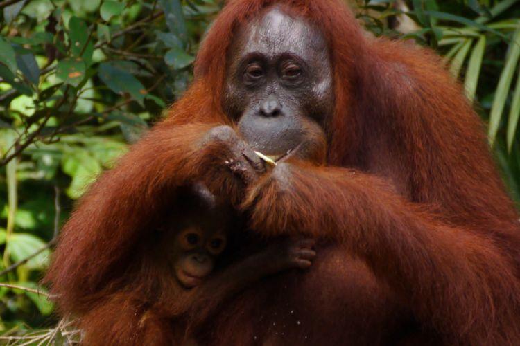 Orangutan di Tanjung Puting, Kalimantan