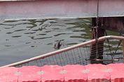 Mengenal 2 Jenis Buaya yang Ada di Kolong Jembatan Mangga Dua