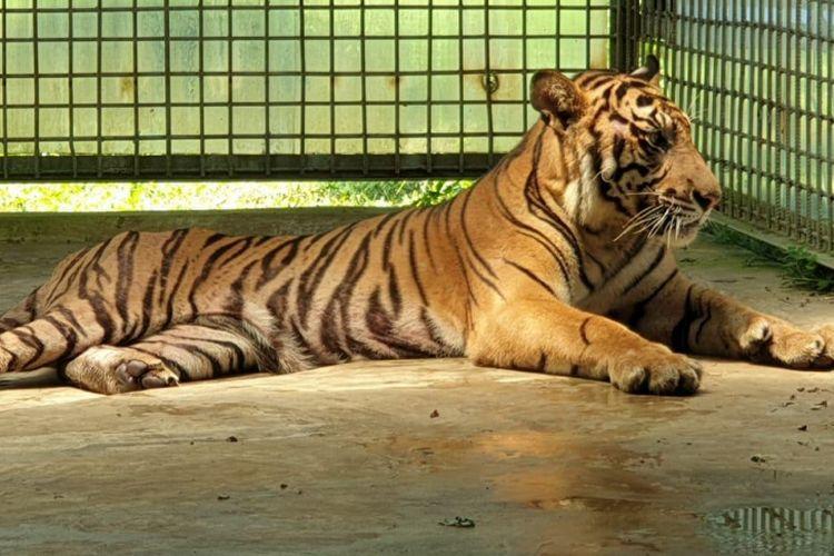 Harimau sumatera Atan Bintang saat berada di kandang observasi di Dharmasraya, Sumatera Barat.