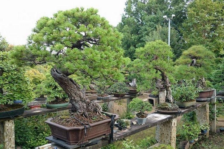 Pohon bonsai koleksi Fuyumi dan Sheiji Iimura.