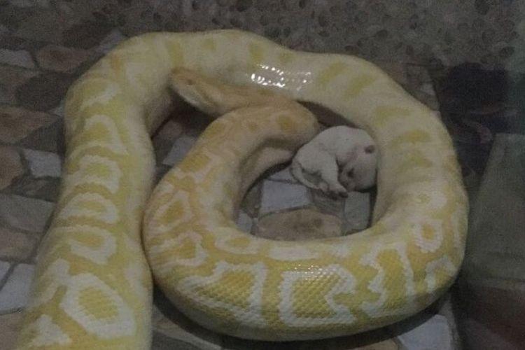 Gambar yang beredar di media sosial menunjukkan seekor anak anjing hidup meringkuk di samping seekor ular piton besar. (PETA Asia)