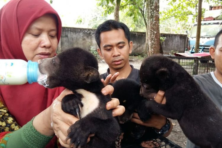 Drh Rini Deswita dan penjaga satwa BBKSDA Riau memberikan susu dan buah kepada tiga anak beruang, Kamis (11/10/2018).