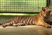 Harimau Sumatera Selalu Direhabilitasi di Sumbar Setelah Dievakuasi, Ini Alasannya