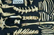 Arkeolog Temukan Fosil Rusa Prasejarah di Argentina
