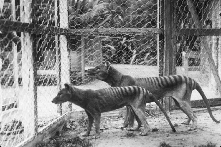 Harimau Tasmania di Kebun Binatang Hobart