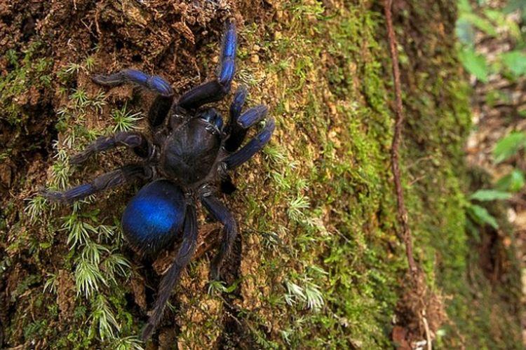 Tarantula Biru Guyana
