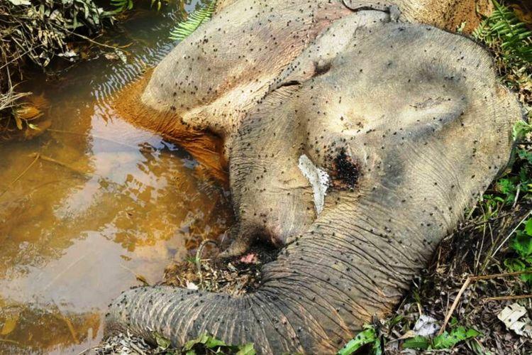 Bangkai gajah Sumatera, di 2017 ini, sudah tiga hewan dilindungi karena keberadaannya di ambang punah ini yang ditemukan tewas, Kamis (26/10/2017).