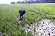 Akibat Kekeringan, Ribuan Hektar Sawah di Aceh Utara Terancam Gagal Panen
