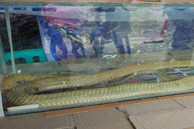 Ular king kobra yang disimpan di dalam aquarium.