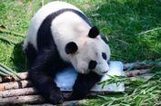 Kebun Binatang di Australia Suguhi Panda Video Porno, Untuk Apa?