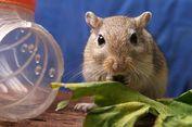 Polisi Inggris Gelar Operasi untuk Selamatkan Seekor 'Gerbil Lapar'
