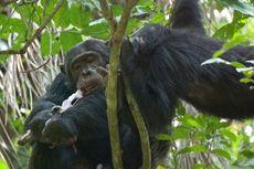 Kisah Nyata dari Tanzania, Simpanse Suka Makan Otak Bayi Monyet