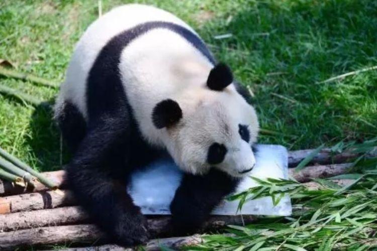 Ilustrasi panda. Dalam foto ini seekor panda sedang mendinginkan tubuh dengan balok es pada musim panas di kebun binatang di Shenyang, provinsi Liaoning, China, pada 17 Juli 2018. (AFP)