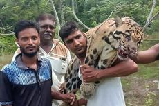 Sambil Tertawa, Pemburu Ini Pamerkan Bangkai Macan Tutul Langka