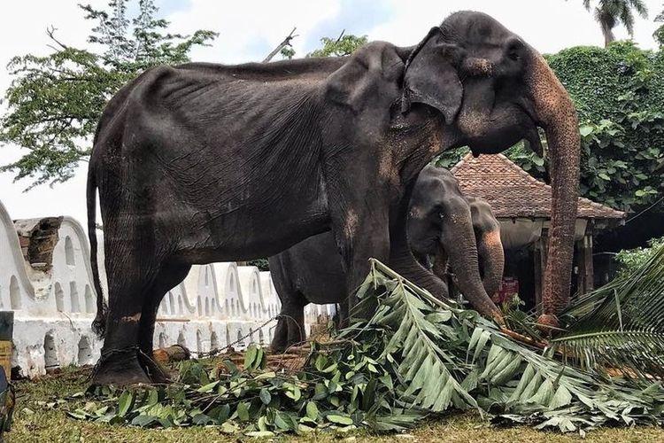 Inilah Tikiiri. Gajah berusia 70 tahun di Sri Lanka yang menjadi perbincangan karena tubuhnya begitu kurus.
