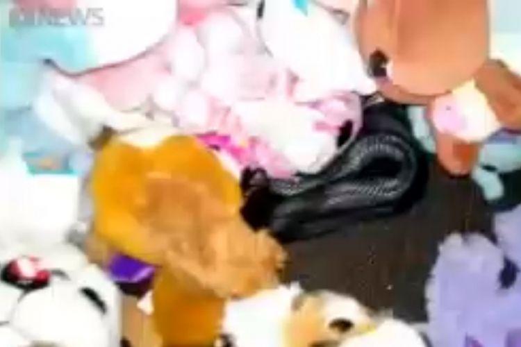 Seekor ular hitam berperut merah ditemukan di antara tumpukan boneka mainan di Australia.