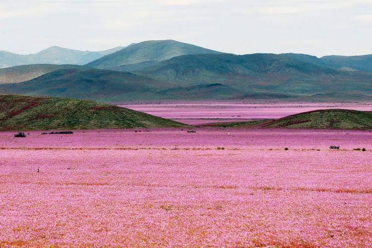 Lautan bunga di Gurun Atacama, Cile.