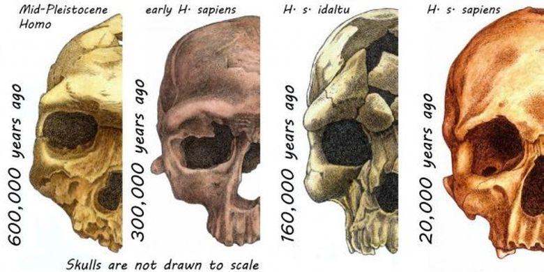 Evolusi wajah manusia
