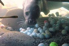 Berkat Remaja Ini, Pengelola Pebble Beach Bersihkan Limbah Bola Golf di Laut