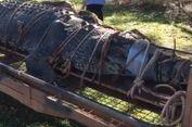 Kok Bisa Buaya yang Ditangkap di Australia Jadi Raksasa? Ahli Menjawab