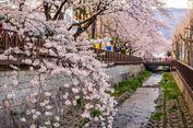 Catat, Ini Jadwal Mekarnya Bunga Sakura di Korea Tahun 2018