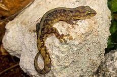 Tiga Reptil Asal Australia Punah, Ilmuwan Pertanyakan Sebabnya