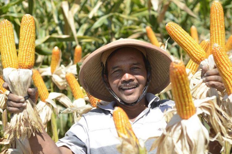 Jagung adalah satu dari tiga tanaman kebutuhan pangan global. Syngenta meluncurkan bibit jagung NK Perkasa mulai 2017 yang tahan terhadap serangan hama bulai.