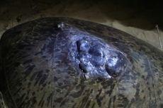 Punggungnya Terluka, Seekor Penyu Bertelur di Pantai Sukamade Banyuwangi