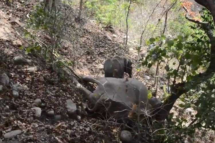 Potongan gambar video yang memperlihatkan seekor anak gajah tidak berpisah dari induknya yang sudah mati di Uttarakhand, India.