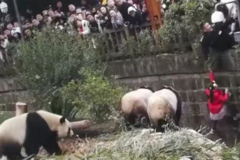 Jatuh ke Dalam Kandang, Gadis Kecil Ini Dikepung Tiga Ekor Panda