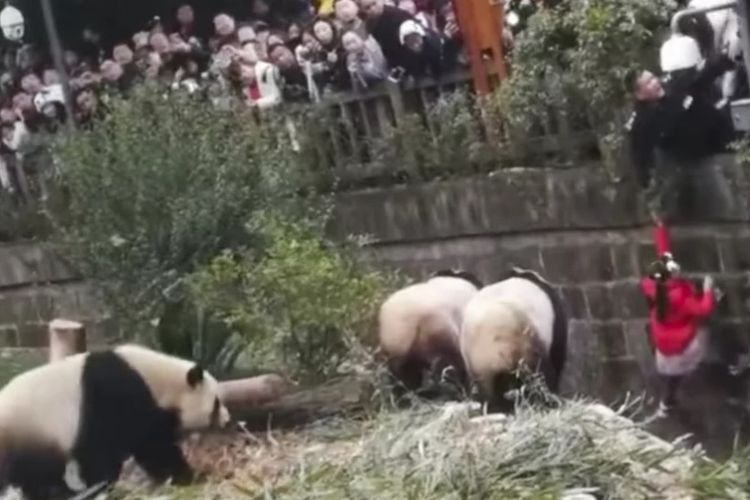 Momen saat gadis kecil di China diselamatkan dari dalam kandang panda raksasa di cagar alam di Chengdu, Provinsi Sichuan.