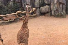 Pengunjung Kebun Binatang di China Diduga Beri Makan Jerapah dengan Uang Kertas