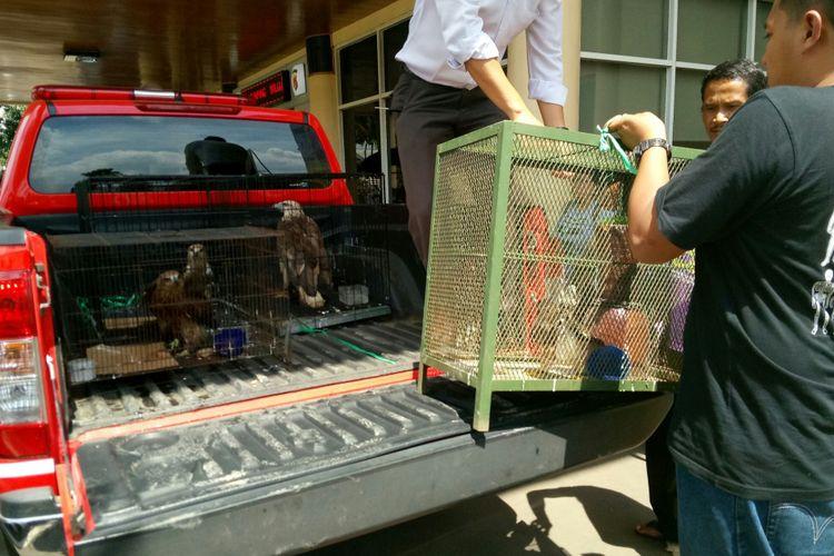 Polisi Gagalkan Perdagangan Online Lima Ekor Elang Yang Dilindungi