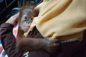 Aparat Gabungan Ungkap Kasus Penyelundupan 7 Satwa Dilindungi ke Malaysia, 3 Diantaranya Orangutan