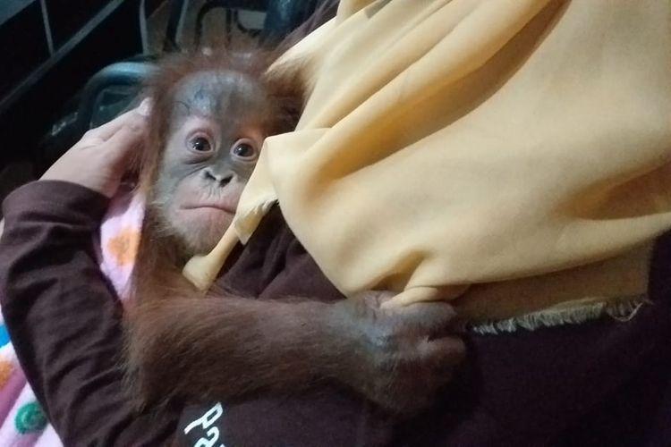 Salah satu bayi orangutan yang diselamatkan dari pelaku penyelundupan di Kota Dumai dibawa ke BBKSDA Riau, Rabu (26/6/2019).