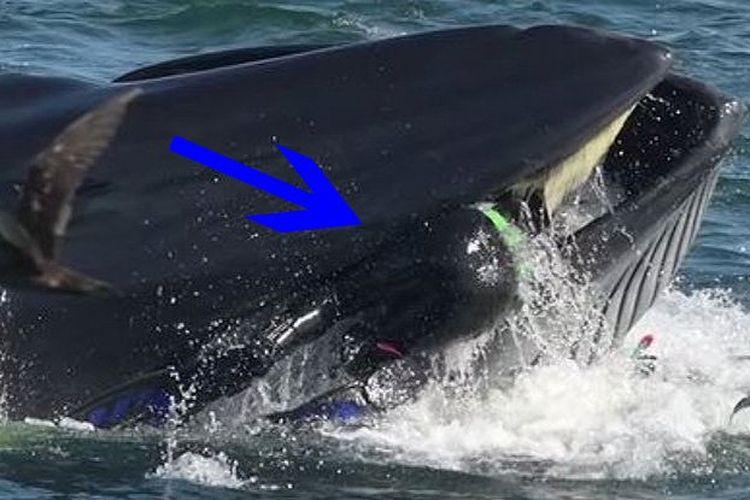 Seorang penyelam nyaris ditelan paus. Sebagian tubuhnya sudah berada di mulut mamalia laut itu.