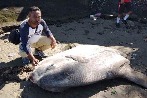 Ikan Mola Sepanjang 2,5 Meter Terdampar di Pantai, Jadi Tontonan Warga