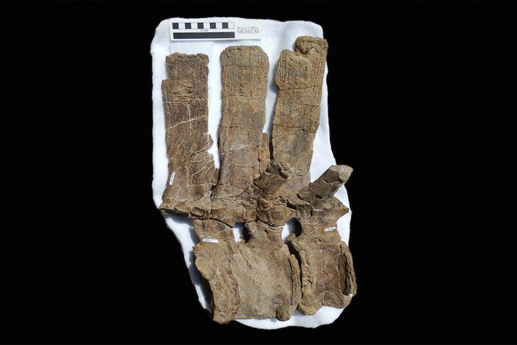 Tulang hadrosaurid yang menyatu