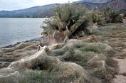 Musim Kawin, Laba-laba Yunani Bikin Jaring Lebih dari 300 Meter