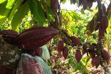 Rencana Besar Ilmuwan untuk Selamatkan Cokelat dari Kepunahan